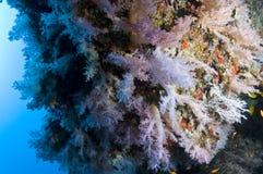 rafowa Maldives kolorowa koralowa miękka część Zdjęcie Royalty Free