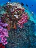 Rafowa ryba i korala grouper Obrazy Royalty Free