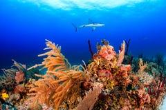 Rafowi rekiny Obrazy Royalty Free