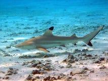 rafowy blacktip rekin Zdjęcie Stock