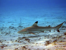 rafowy blacktip rekin Obrazy Stock