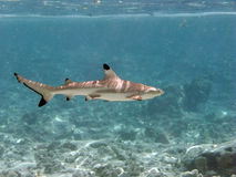 rafowy blacktip rekin Obraz Royalty Free