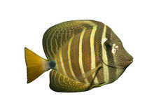 rafowy tropikalnych ryb Fotografia Stock