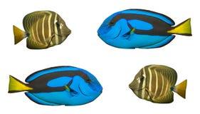 rafowy tropikalnych ryb Fotografia Royalty Free