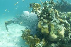 rafowy underwater Obraz Royalty Free