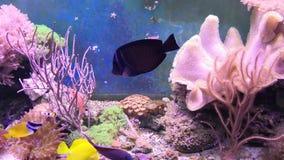 Rafowy zbiornik wypełniający z wodą dla utrzymywać żywych podwodnych zwierzęta Clownfish, aktyny i Denny kwiat zbiory wideo