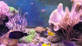 Rafowy zbiornik wypełniający z wodą dla utrzymywać żywych podwodnych zwierzęta Clownfish, aktyny i Denny kwiat zdjęcie wideo