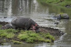 Rafraîchissement d'hippopotame en rivière de Mara photos libres de droits