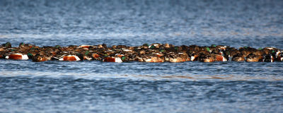Raft Of Ducks Royalty Free Stock Photo