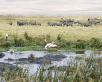 Raft of hippos in a watering hole with Zebras and birds in the background Royalty Free Stock Image