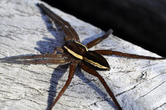 Raft-hunting spider - Dolomedes fimbriatus Royalty Free Stock Photos