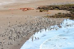 A Raft of Magellanic Penguin Walking on landing Beach.  Punta Tombo reserve, Argentina Stock Photos