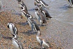 A Raft of Magellanic Penguin Walking on landing Beach.  Punta Tombo reserve, Argentina Royalty Free Stock Photos