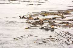 A Raft of Sea Otters in a Bed of Kelp Royalty Free Stock Photos