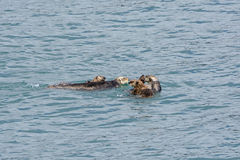 A Raft of Sea Otters Stock Photo