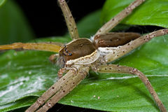 A raft spider Stock Photos
