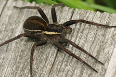 Raft Spider Stock Photo