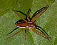 Raft spider, Dolomedes fimbriatus juvenil Stock Images
