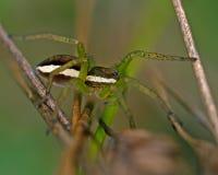 Raft spider, Dolomedes fimbriatus juvenil. On a straw Stock Photos