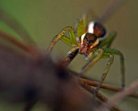 Raft spider, Dolomedes fimbriatus juvenil Royalty Free Stock Images