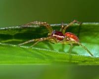 Raft spider, Dolomedes sp juvenil Stock Image