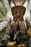 A raft spider with prey - a jumping spider Royalty Free Stock Photos