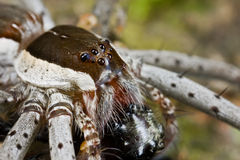 A raft spider with prey - a jumping spider Stock Photography