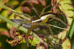 Raft Spider Royalty Free Stock Photos