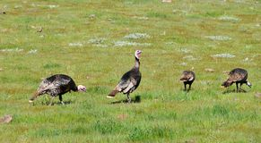 A Rafter of Wild Turkeys Meleagris gallopavo foraging in San D Stock Photos