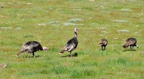 A Rafter of Wild Turkeys Meleagris gallopavo foraging in San D. Wild turkeys foraging in San Diego County, California. Rio Grande wild turkey ranges through Stock Photos