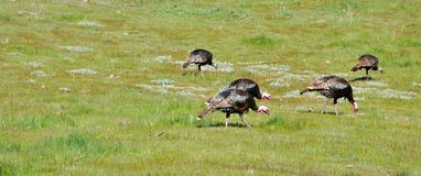A Rafter of Wild Turkeys Meleagris gallopavo foraging in San D. Wild turkeys foraging in San Diego County, California. Rio Grande wild turkey ranges through royalty free stock images