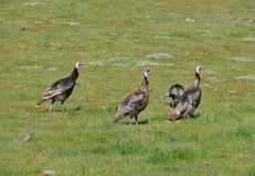 A Rafter of Wild Turkeys Meleagris gallopavo foraging in San D. Wild turkeys foraging in San Diego County, California. Rio Grande wild turkey ranges through stock photography
