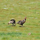A Rafter of Wild Turkeys Meleagris gallopavo foraging in San D. Wild turkeys foraging in San Diego County, California. Rio Grande wild turkey ranges through stock image