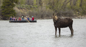 Rafters with a Moose. A group of rafters watches a cow moose along the Snake River in Grand Teton National Park, Wyoming royalty free stock photo