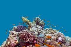 Rafy koralowa i ryba anthias przy dnem tropikalny morze na błękitne wody tle Obrazy Stock