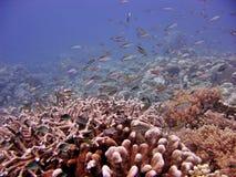 rafy koralowe Fotografia Royalty Free