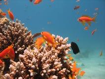 rafy koralowe na scenie Fotografia Royalty Free