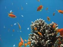 rafy koralowe na scenie Fotografia Stock