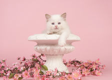 Rag doll baby cat with blue eyes hanging over the edge of a flower pot with pink flowers on a pink background royalty free stock image
