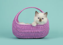 Rag doll baby cat with blue eyes hanging over the edge of a pink basket on a blue turquoise background Stock Image