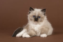 Rag doll baby cat with blue eyes looking at the camera lying down on a brown background Royalty Free Stock Photography