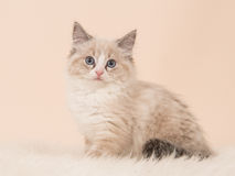 Rag doll baby cat on soft background Royalty Free Stock Photography