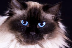 Rag doll cat Stock Images