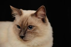 Rag doll cat #3 Stock Photo