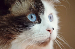 Rag-doll Cat. Blue eyed Rag-doll looking off in the distance stock photo