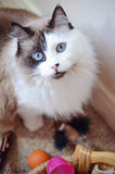 Rag-doll Cat. Blue eyed Rag-doll cat near toys while looking at the camera Stock Image