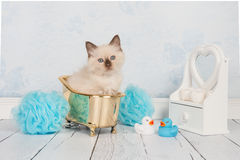 Rag doll cat in golden bath Royalty Free Stock Photos