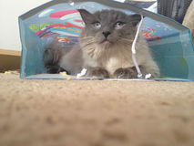 Rag doll cat hides in bag Royalty Free Stock Photo
