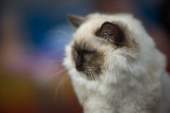 Rag doll cat. Portrait  - blurred background Stock Images