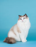 Rag-doll cat Royalty Free Stock Photography